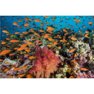 Masque MER ROUGE anthias