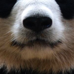 Lustiges Pandaschnauze Design