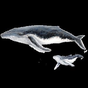 Buckelwal mit Baby Megaptera Wal