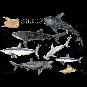 Haie der Welt: Wal, Heringsfisch, Kaiserfisch