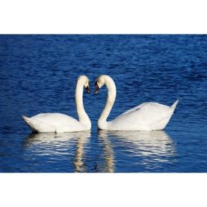swans 1299971