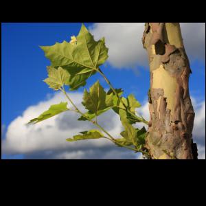 Ahornbaum vor blau weissem Himmel Poster