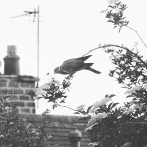 Schwarzweiss-Taube