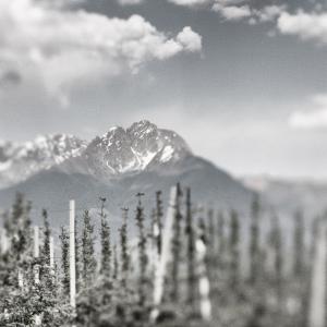 Südtirol Vintage | Weinstöcke + Berge Alto Adige