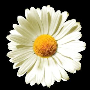 Gänseblümchen | Daisy flower power