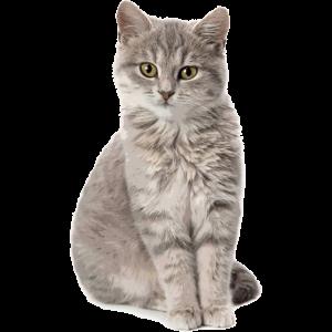 Katze Motiv Britisch Kurzhaar Foto