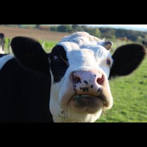 Kuh Kühe Rind Rinder Kuhkopf lustig Geschenk