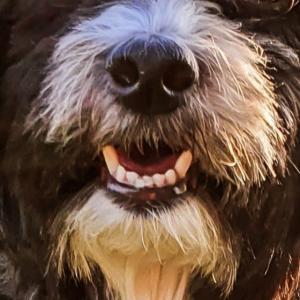 Mundschutz Hundeschnauze Havaneser