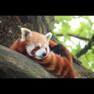 Roter Panda Querformat