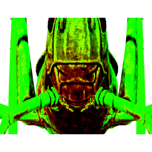 face of a grasshopper