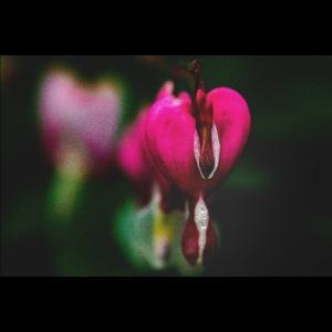 Traenende Herzen Reihe Makroaufnahme
