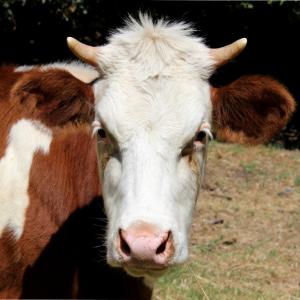 Kuh Kühe Kalb Landwirt Rind Tierwirt Rinder