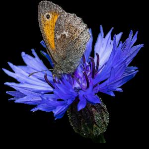 schmetterling - kornblume - insekt