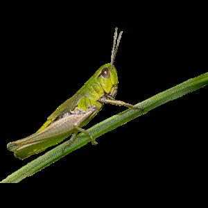 Grashüpfer - Insekt - natur - sommer