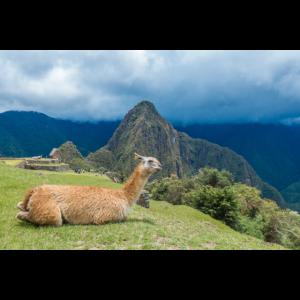 Lama in front of Inca ruins Machu Picchu Peru
