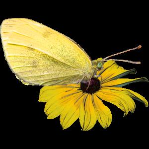Schmetterling - Schmetterlinge - insekten - sommer
