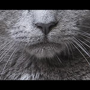 Mundschutz Katze Kurzhaar Blau Corona Geschenk