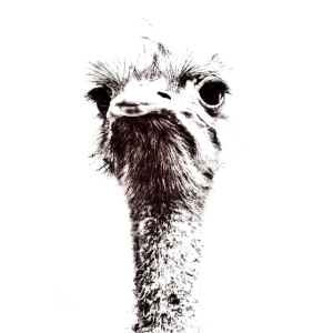 Kopf eines Vogel Strauss, schwarzweiss