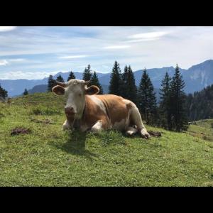 Wunderschöne Landschaft in den Alpen - Kuh