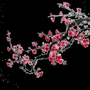 Japan Kirschbaum
