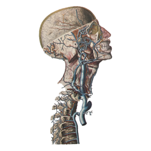 Anatomie Skelett Medizin