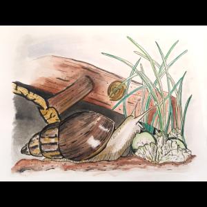 Achatschnecke Schnecken Illustration