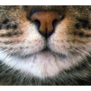 EKH Katze Maske Mundschutz Europäisch Kurzhaar