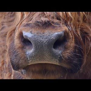 Mund-Nasen-Maske Rindermaul