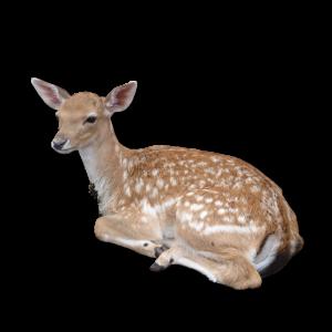 Rehkitz Reh Rehlein Deer Rentier