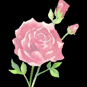 Rosen in Aquarell