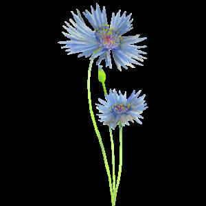 Zwei blaue Kornblumen im Aquarell