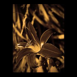Tawny Daylily Sepia Effekt Blume