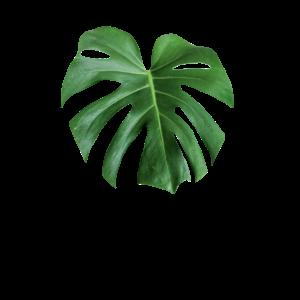 Pflanzen Daddy Geschenk Monstera Deliciosa