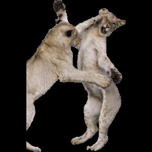 Junge Löwen kämpfen