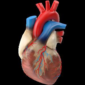 Realistisches menschliches Herz
