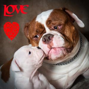 Amerikanische Bulldogge, Liebe, Geschenk, Hunderasse