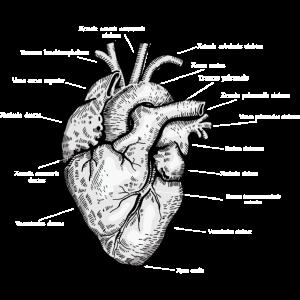 Anatomisches Herz Latein Beschriftet Kardiologie