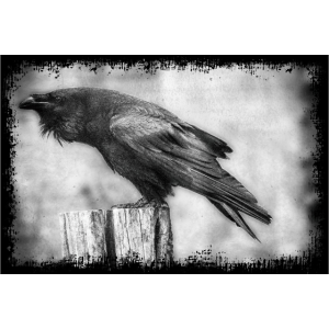 Rabe. Corvus Corax. Raven.
