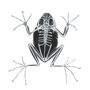 Frosch Röntgen