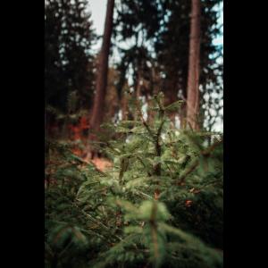 Nadel Wald