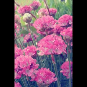 Grasnelken ¦ Blumen