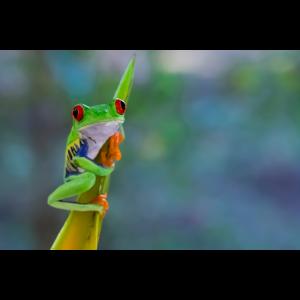 Exotische Tierwelt Costa Rica - Rotaugenlaubfrosch