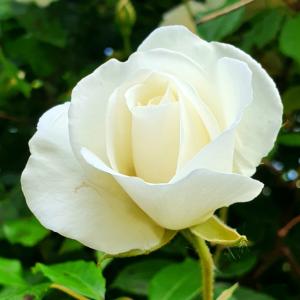 Bluete Rose weiss 2021 06 08