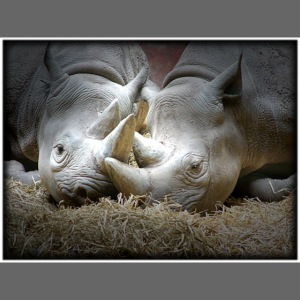 two rhinos in love