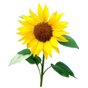 sunflower120dpi