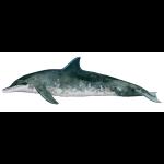rauzahndelfin