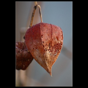 Physalis in winter