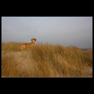Dachshund in the dunes by the sea
