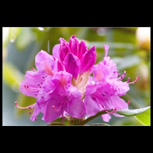 Rhododendrons bloom in the rain