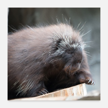 Canada Baumstachler Neuwelt porcupines Canada - Poster 60x60 cm